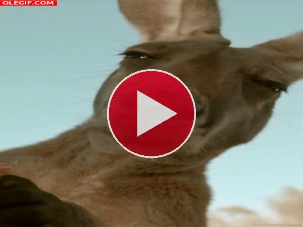 Vaya cómo mastica el canguro