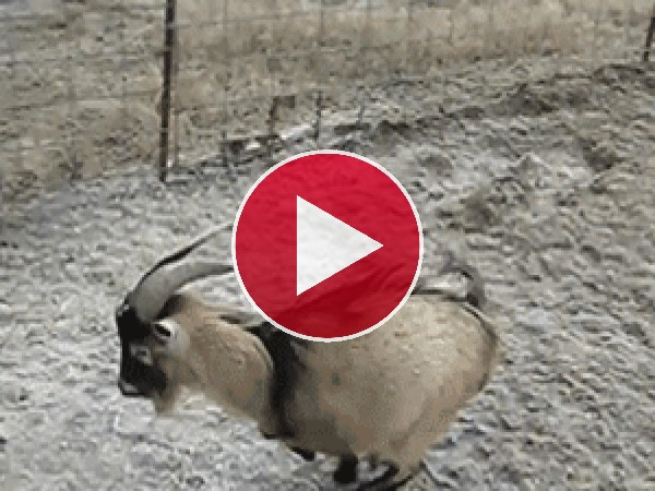 GIF: La cabra patinadora