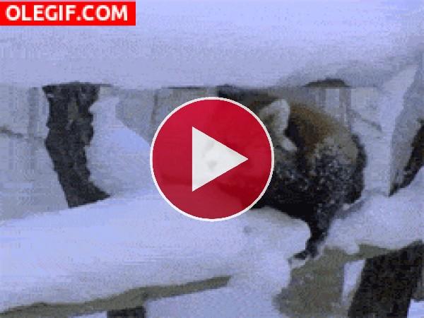 Este panda rojo no para de resbalar en la nieve