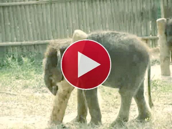 A este pequeño elefante le pica todo