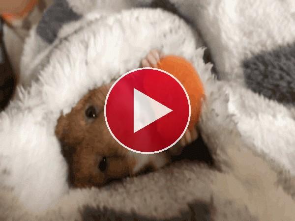 Mira a este hámster comiendo zanahoria