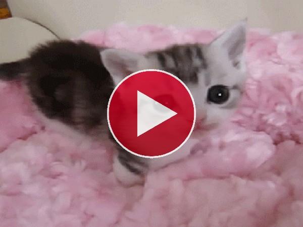 GIF: Pequeño gato relamiéndose