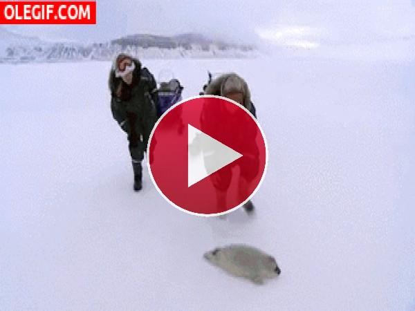 GIF: Salvando a una foca bebé