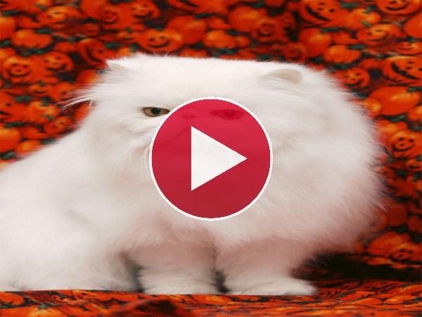 Cómo ha crecido este gato persa