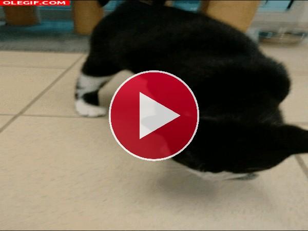 Gato jugando con un pez