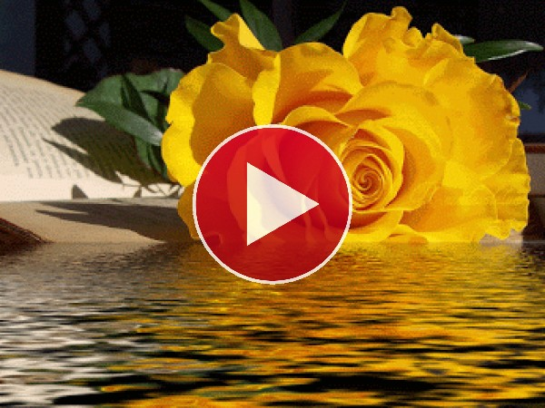GIF: Rosa amarilla junto al agua