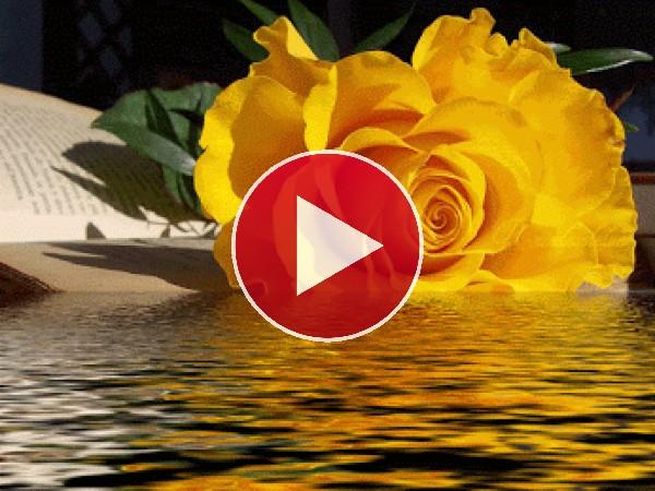Rosa amarilla junto al agua