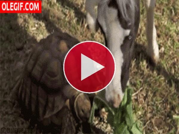 GIF: A esta tortuga la roban la comida