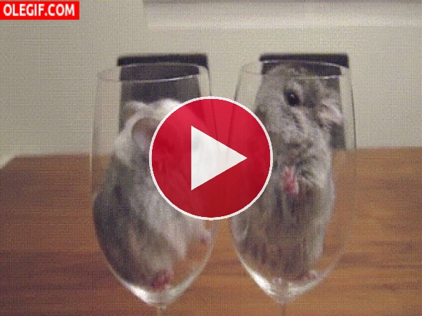 GIF: Dos divertidas chinchillas