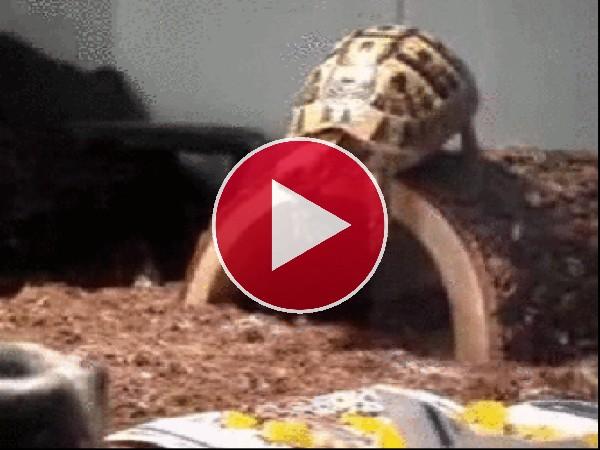 Esta tortuga quería hacer el pino