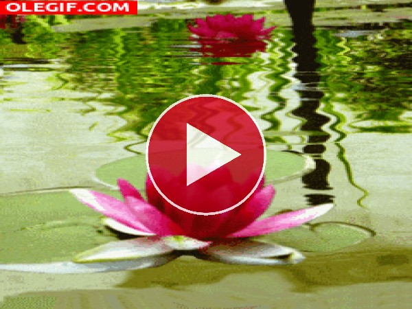 GIF: Flores de nenúfar flotando
