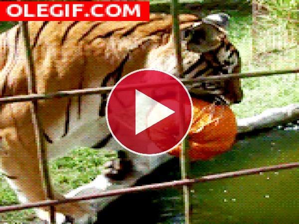 GIF: Tigre dándose un chapuzón