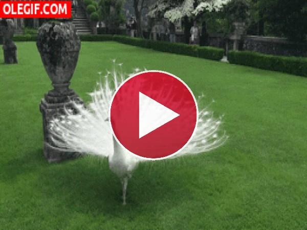 Mira a este hermoso pavo real blanco