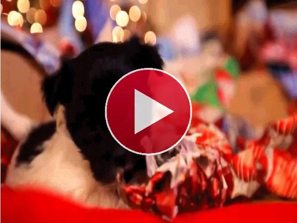 A este cachorro lle gustan los regalos navideños