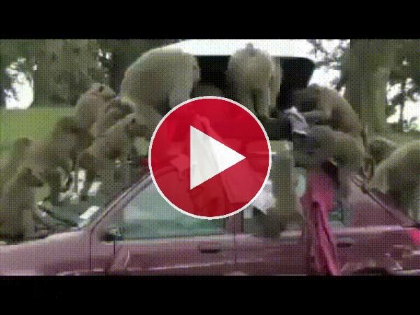 GIF: La que están liando estos monos