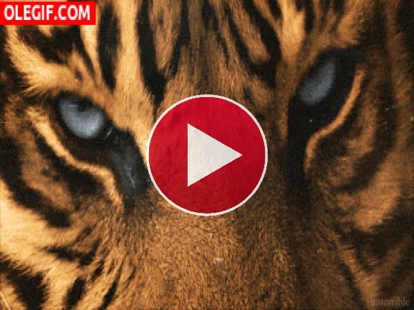 GIF: Los ojos del tigre