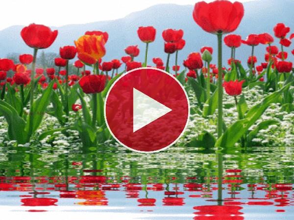 Tulipanes junto al agua