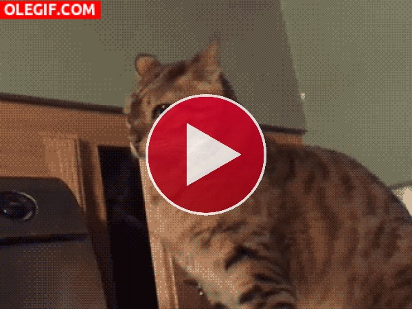GIF: Este gato quiere pelea