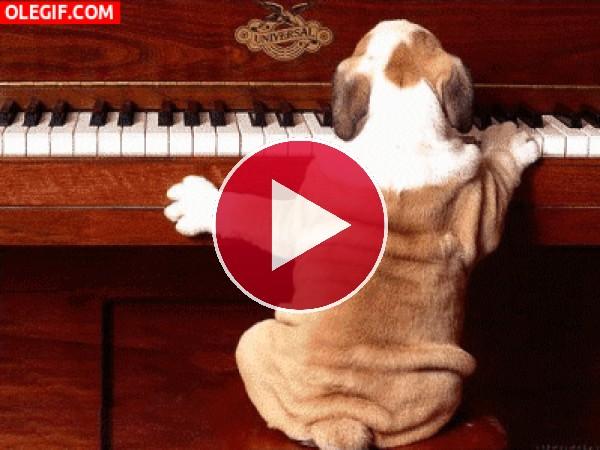 GIF: Perro pianista