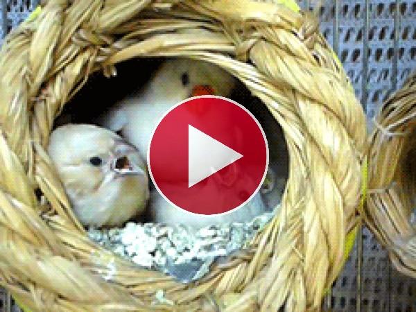 GIF: Mamá alimentando a sus polluelos
