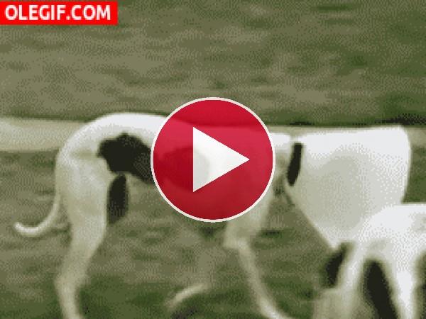 GIF: El perro más listo