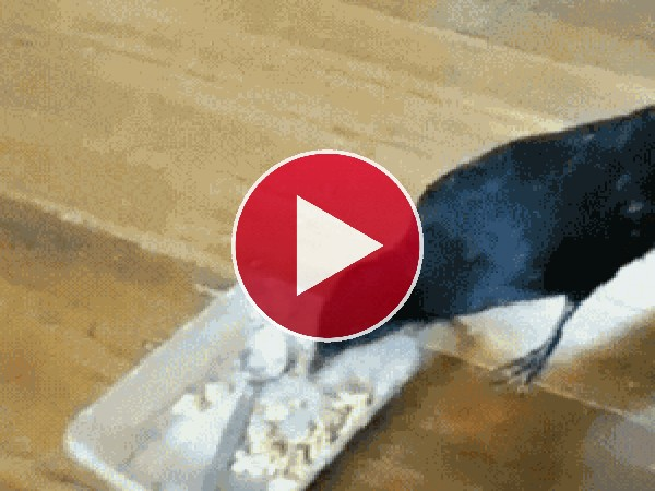 Mira a este cuervo alimentando a sus amigos