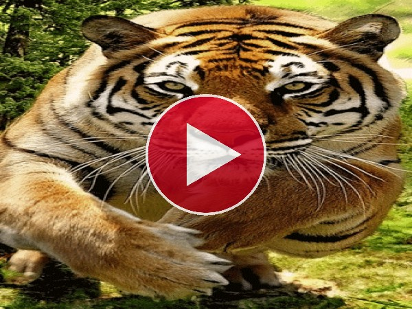 GIF: Tigre en movimiento