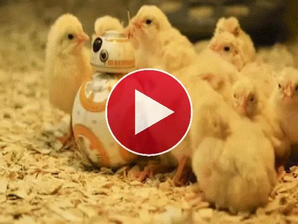 BB-8 rodeado de curiosos pollos
