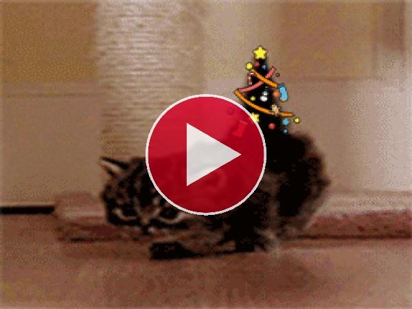 GIF: Un gato navieño