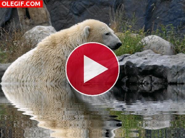 GIF: Oso polar relajado en el agua