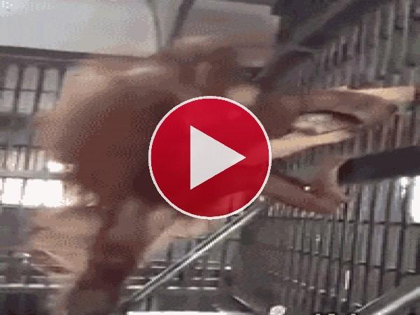 GIF: Mira a este chimpancé preparándose la hamaca