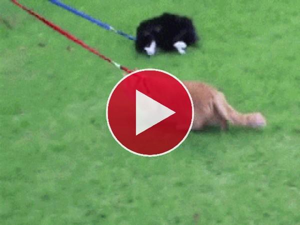 GIF: Estos gatos no quieren pasear