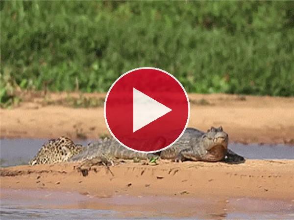 Leopardo a la caza del cocodrilo
