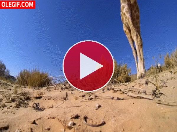 GIF: Jirafa caminando