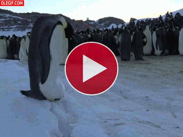 GIF: Clavando el pico en la nieve
