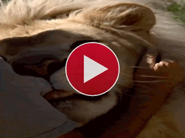 Acariciando y besando al león