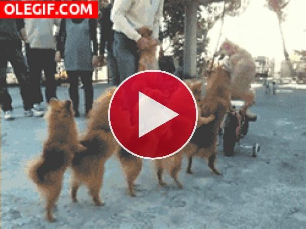 GIF: Perros bailando la conga