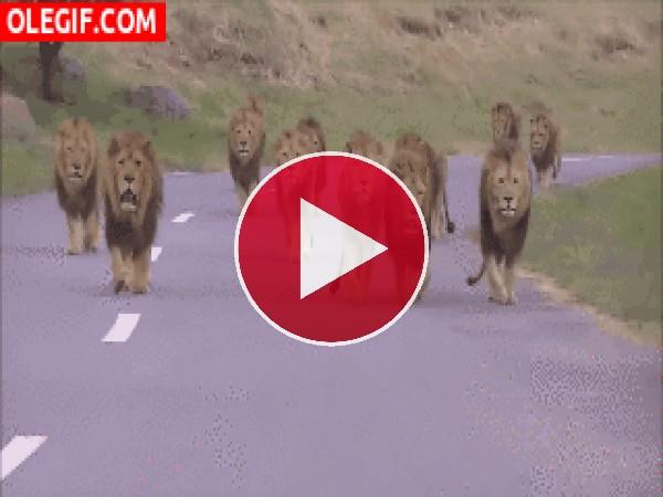 GIF: La invasión de los leones