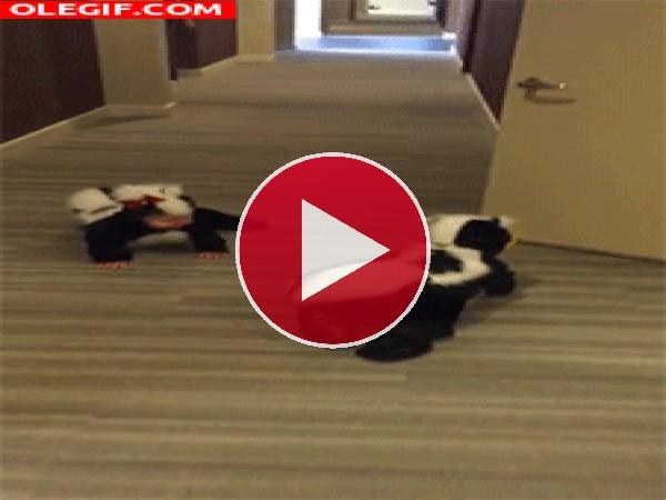 GIF: Mofetas en el pasillo