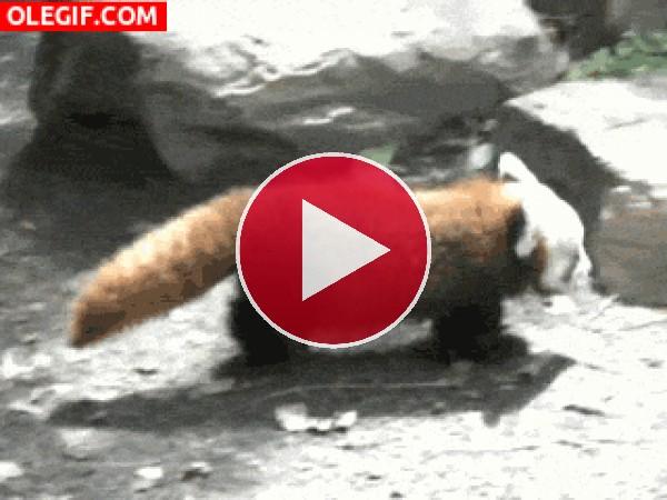 Mira a este pequeño panda rojo