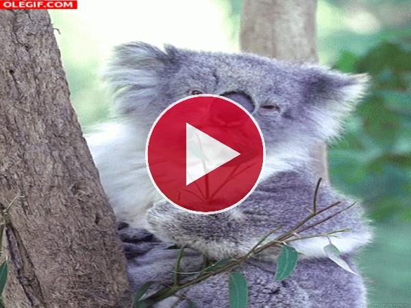 Este koala no tiene mucha hambre