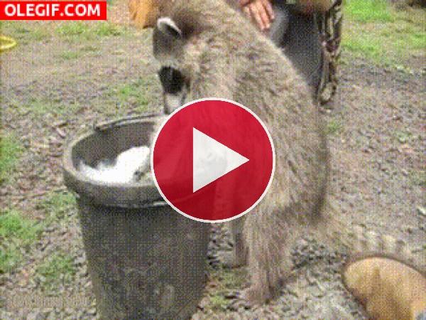GIF: Un mapache fregando