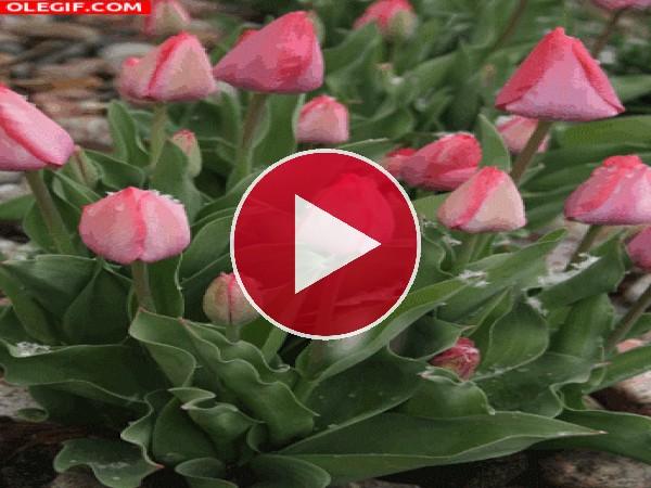 Nieve cayendo sobre los tulipanes