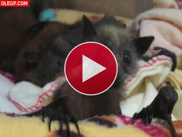 GIF: Un murciélago bailarín