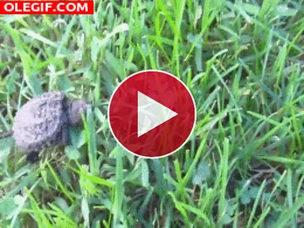 Pequeña tortuga caminando por la hierba
