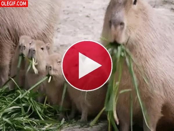 Familia de carpinchos comiendo hierba