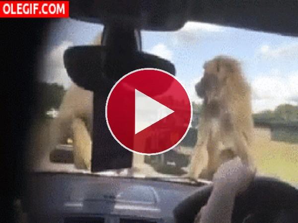 GIF: Estos monos no se cortan un pelo