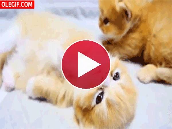 GIF: Hermosos gatitos
