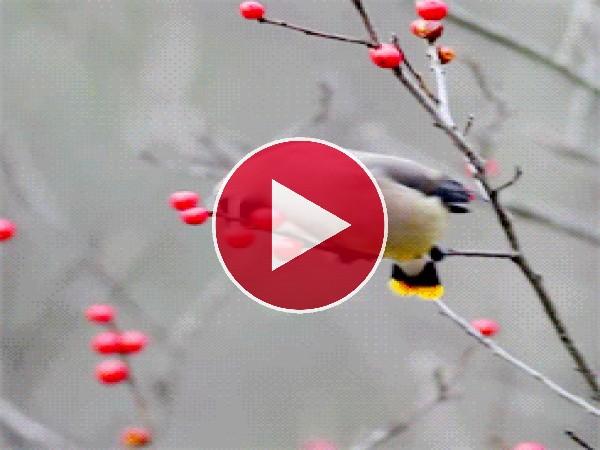 GIF: Mira a este pájaro comiendo bayas