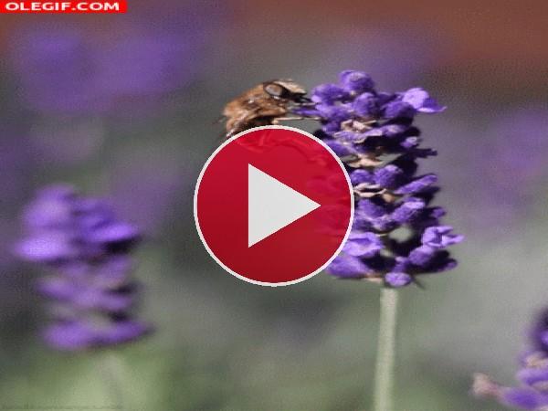 GIF: Abeja polinizando una flor